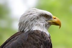 Американский белоголовый орлан, конец вверх по портрету Стоковые Фото