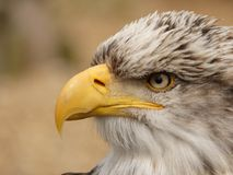 Американский белоголовый орлан - leucocephalus Haliaeetus - близкое поднимающее вверх стоковые изображения rf