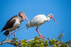 Американский белый ibis в дереве Стоковые Изображения RF