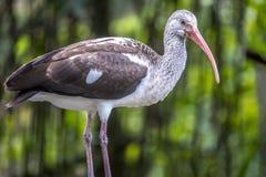 Американский белый ibis, albus Eudocimus Стоковые Фотографии RF