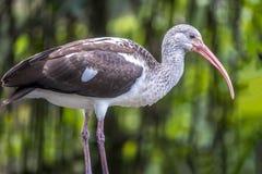 Американский белый ibis, albus Eudocimus Стоковые Изображения