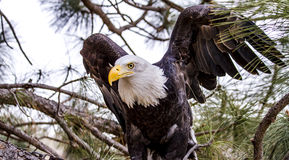 Американский белоголовый орлан в установке зимы стоковые фото