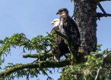 Американский белоголовый орлан и свой младенец сидя на ветви дерева стоковое изображение