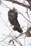Американский белоголовый орлан с протягиванными крылами Стоковая Фотография