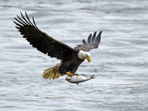Американский белоголовый орлан с рыбами стоковое изображение