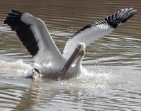 Американский белый пеликан на охоте стоковые фотографии rf