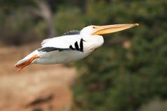 Американский белый пеликан принимая  Стоковые Фото