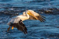 Американский белый пеликан (erythrorhynchos Pelecanus) стоковые фото