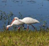 2 американский белый Ibis Стоковая Фотография RF
