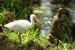 Американский белый ibis & x28; Albus& x29 Eudocimus; Стоковое Фото