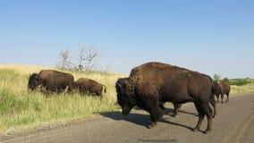 Американский бизон, буйвол, живая природа, перемещение видеоматериал