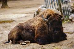 Американский бизон буйвола Стоковое Изображение