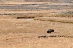 Американский бизон в злаковиках - национальный парк Йеллоустона Стоковое фото RF