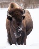 Американский бизон в снеге III Стоковые Изображения