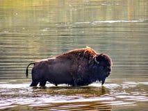 Американский бизон или американский буйвол & x28; Bison& x29 бизона; , мужчина пересекая реку, национальный парк Йеллоустона, Вай Стоковые Фото