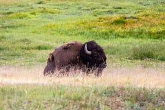 Американский бизон, национальный парк Йеллоустона Стоковые Изображения RF