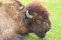 Американский бизон Стоковые Фотографии RF
