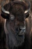 Американский бизон Стоковая Фотография RF