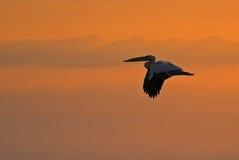 Американский большой силуэт белого пеликана Стоковое Изображение