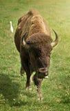 Американский буйвол в зеленом поле Стоковая Фотография RF