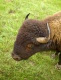 Американский буйвол в зеленом поле Стоковые Фотографии RF