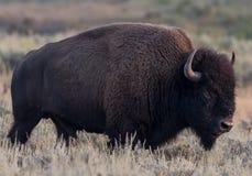 Американский буйвол идет через поле Стоковое фото RF