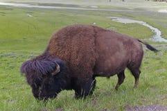 Американский буйвол пася Стоковые Фото