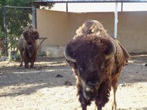 Американский буйвол Стоковое фото RF