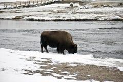 американский буйвол Стоковые Фото
