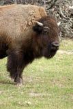 американский буйвол Стоковое Фото