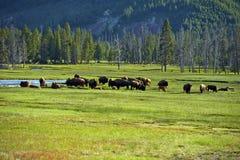 Американский буйвол в Йеллоустоне Стоковые Изображения
