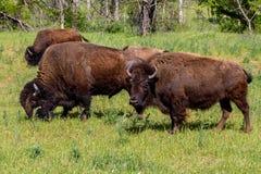 Американский буйвол, живя на ряде в Оклахоме Стоковые Изображения RF