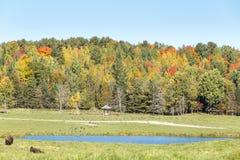 Американский буйвол поля в поле осенью Стоковые Изображения