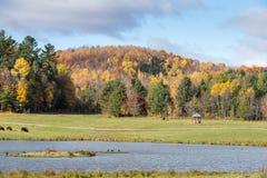 Американский буйвол поля в поле осенью Стоковое Изображение