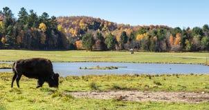 Американский буйвол поля в поле осенью Стоковые Фото
