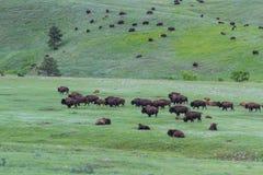 американский буйвол стоковое изображение