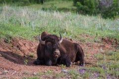 американский буйвол Стоковые Изображения RF