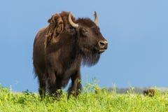 американский буйвол Стоковая Фотография