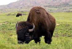 американский буйвол Стоковое Изображение RF