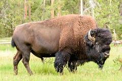 Американский буйвол & x28; Bison& x29 бизона; Стоковая Фотография RF
