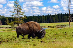 Американский буйвол & x28; Bison& x29 бизона; Стоковая Фотография