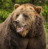 Американский бурый медведь Стоковые Изображения RF