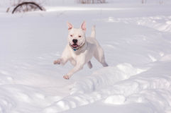 Американский бульдог бежать в снеге Стоковое Изображение