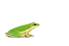 американский вал зеленого цвета лягушки стоковое изображение rf