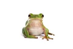 американский вал зеленого цвета лягушки стоковое изображение