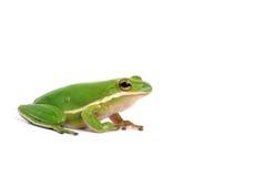 американский вал зеленого цвета лягушки Стоковые Фото