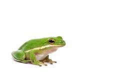 американский вал зеленого цвета лягушки стоковое фото rf