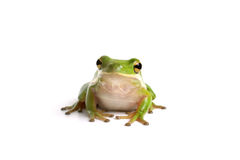 американский вал зеленого цвета лягушки стоковое фото
