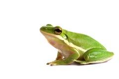 американский вал зеленого цвета лягушки стоковые изображения