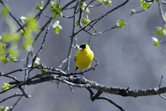 американский желтый цвет зяблика Канады Стоковые Фото